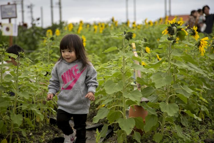 A child walks through a sunflower field during the 11th annual Sunflower in Kitanakagusuku Festival, Okinawa, Japan, Feb. 10. While much of the world takes cover from the harsh winter, the festival is held to welcome the coming of spring in Okinawa with the growth of bright yellow sunflowers. Visitors were able to enter a few sunflower plots to be completely surrounded by the tall flowers. (U.S. Marine Corps photo by Lance Cpl. Nicole Rogge)