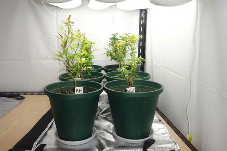 Okinawa police say these six potted marijuana plants were found in an American base worker's home earlier this year. (OKINAWA PREFECTURAL POLICE)