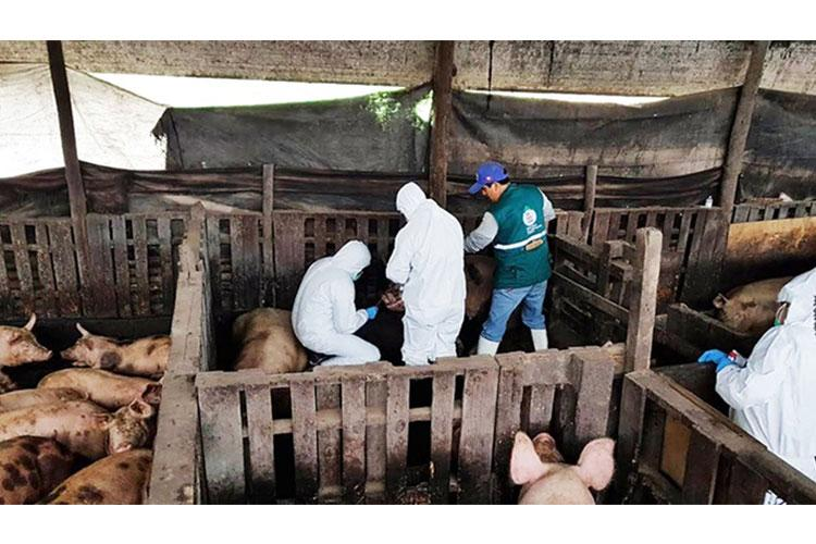 Staff from the U.S. Navy Medical Research Unit 6, better known as NAMRU-6, perform sampling on swine and swine workers in Peru. This testing helps monitor the transmission of potential respiratory pathogens.