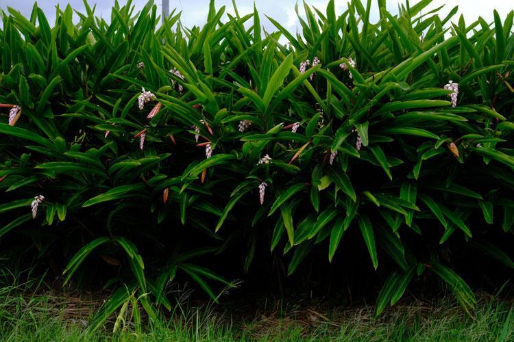 Galingale bloom during urizun season on Okinawa.