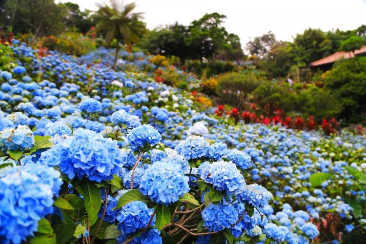Visitors from around the world flock to see the 10,000 hydrangeas at Yohena Hydrangea Garden on Okinawa. AYA ICHIHASHI/STARS AND STRIPES